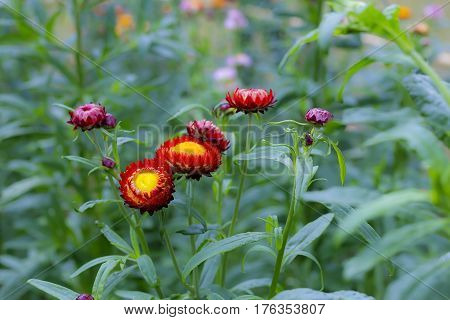 Helichrysum or Straw flower beautiful green background at countryside Thailand
