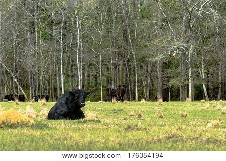 Black Angus bull lying down in an early spring pasture with more Angus cows back in the trees