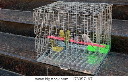 Closeup photo of Lovebirds in captivity in a metal cage