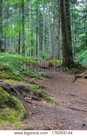 Summer forest In the Carpathian mountains. Ukraine
