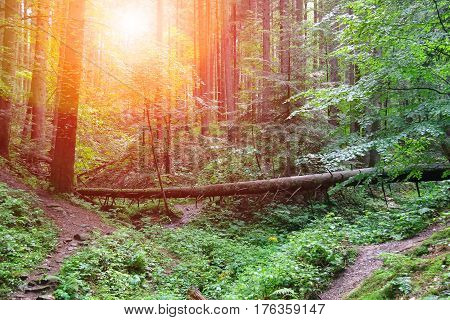 Fallen tree in summer forest in sunlight