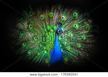 Close up portrait of a male peacock with fully unfolded feathers of his tale over black background.