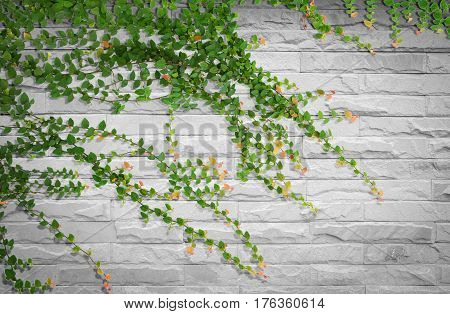 Ivy on bricks wall for background. Abstract background.