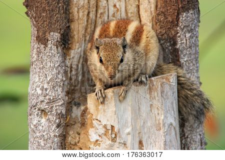 Indian Palm Squirrel Sitting In The Garden Of Taj Mahal Complex In Agra, India