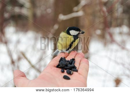 Titmouse sits on the palm of a man with seeds