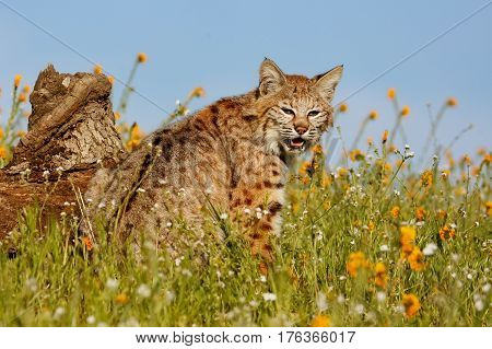 Bobcat (Lynx rufus) sitting in a grass with flowers