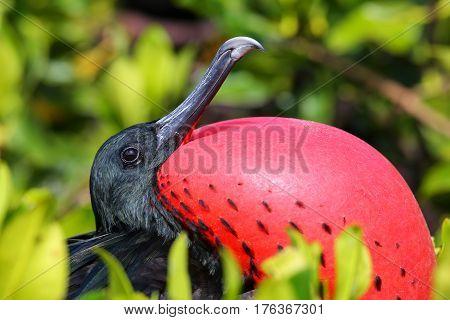 Portrait Of Male Great Frigatebird