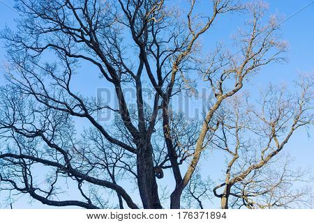 old branchy tree without foliage against the background of the blue sky
