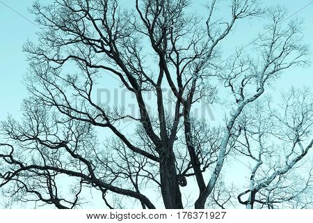 old branchy tree without foliage against the background of the sky monochrome blue tone