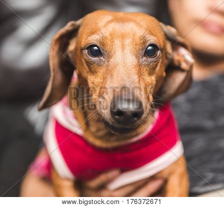 Cute Dachsund Wearing Dog Clothes