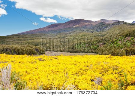 Blooming Broom In Tongariro Np, New Zealand