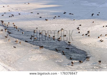 Wild ducks and other birds on a frozen river sunny winter day