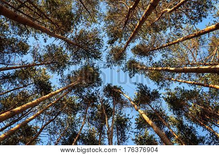 Top part of pine trunks in sunny winter forest