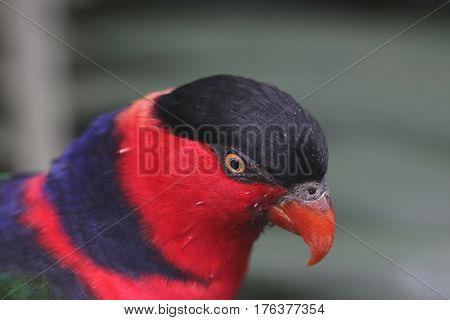 The Parrot Name Eos Bornea
