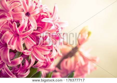 Pink fresh hyacinth close up. Blooming flowers. Spring time. Toned.