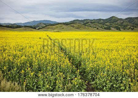 Flowering rapeseed field. Yellow flowers. Mountain Altai landscape