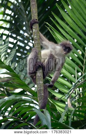 The gray dusky leaf monkey in the jungle