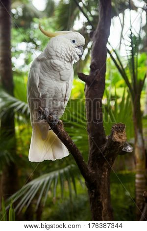 White parrot on a branch. Sulphur-crested Cockatoo Cacatua galerita