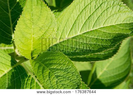 Beautiful green hydrangea leaves. Close-up. Pattern. Sunny day.
