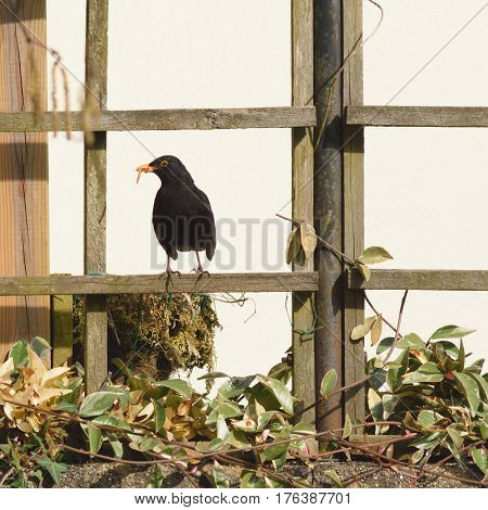 Blackbird standing on a garden fence with worms in its beak