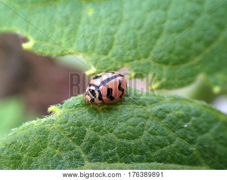 Ladybug / Ladybird insect Closeup on a leaf