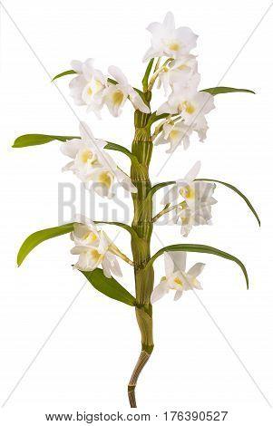 White Dendrobium Nobile_3