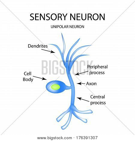 The structure of the sensory neuron. Infographics. Vector illustration on isolated background.