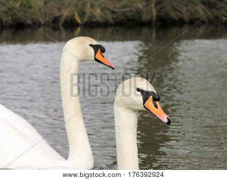 Two sweet swans on the river stour down at Dedham.