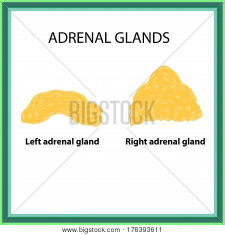 The left and right adrenal gland. Infographics. Vector illustration on isolated background.