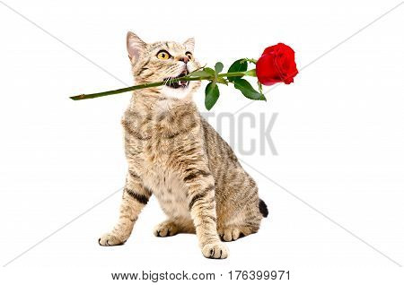 Cat Scottish Straight with a rose in his mouth, isolated on white background