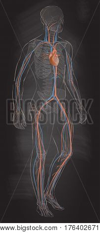 Human body parts. circulatory vascular system. Man anatomy. Vector sketch illustration chalk drawing on the blackboard isolated
