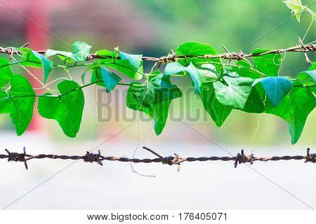 Green Plant Wrapped On Barbed Wire, Nature Background.