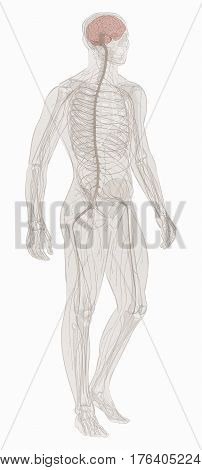 Human body parts. Nervous system. Man anatomy. Hand drown vector sketch illustration isolated