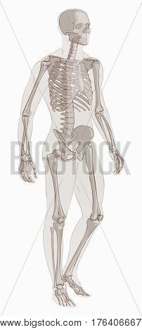 Human body parts. Man skeletal anatomy. Hand drown vector sketch illustration isolated