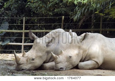 Two Rhino Resting Side By Side