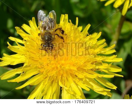 Big bee collecting nectar from a flower