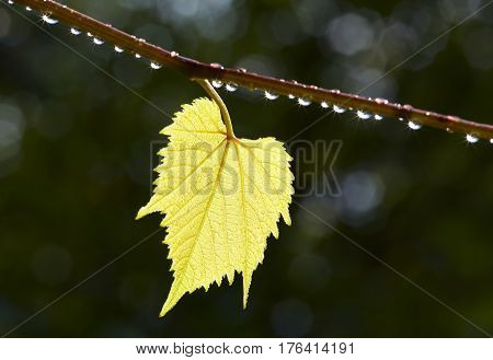 Detail of the leaves of the grapevine in the back lighting - after rain