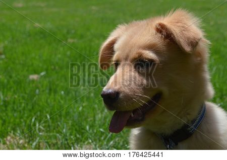 Adorable toller puppy dog on a hot summer day.
