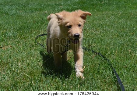 Adorable Yarmouth toller puppy dog running through grass on a long leash.