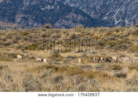 a herd of pronghorn antelope in the rut in Wyoming