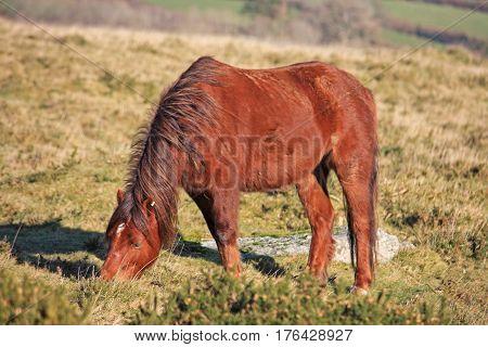Dartmoor pony grazing on the moor in winter