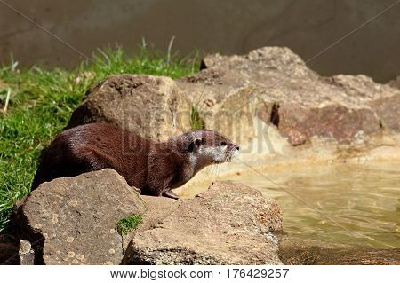 European otter about to drink from a pool