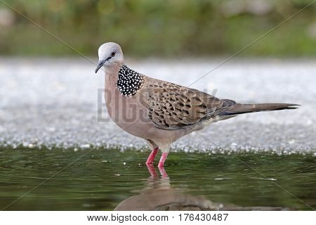 Spotted Dove Spilopelia chinensis Male Cute Birds of Thailand