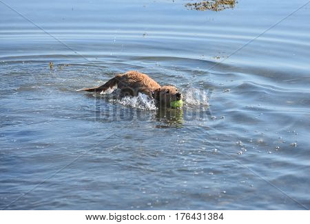 Cute toller puppy dog swimming with a ball in his mouth.
