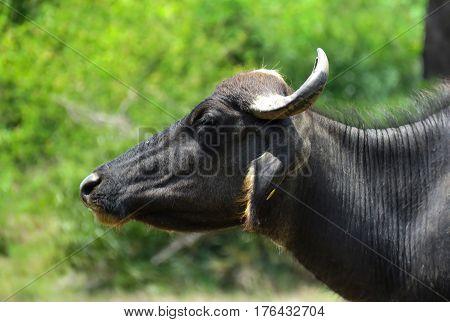 Buffalo Cattle portrait Bull Head Horn in Green Tree Background