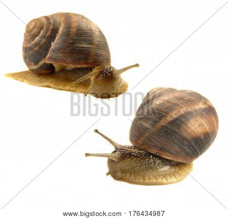 Two snails isolated on a white background