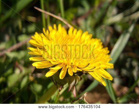 Save Download Preview Yellow Dandelion. Dandelion. Close-up of Dandelion. Dandelion flower