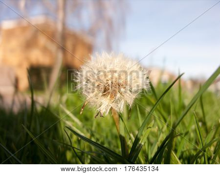 Save Download Preview Dandelion. Dandelion fluff. Dandelion tranquil abstract closeup art background.