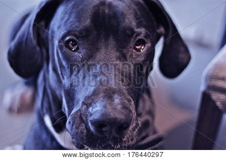 Great Dane face, big black dog looking into the camera