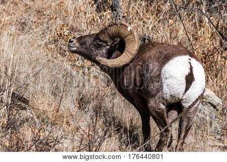 Bighorn Sheep Ram on a Mountainside in Colorado